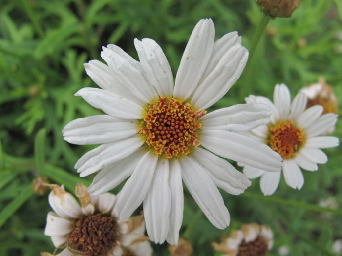 marguerite 'Sugar Button'