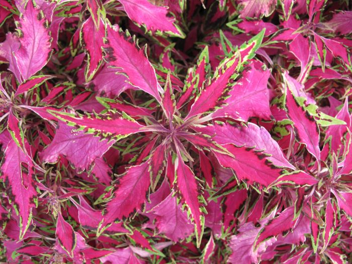 Solenostemon Pink Chaos V Coleus Pink Chaos Rhs