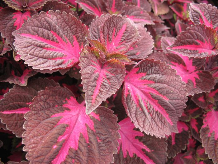 coleus 'China Rose'