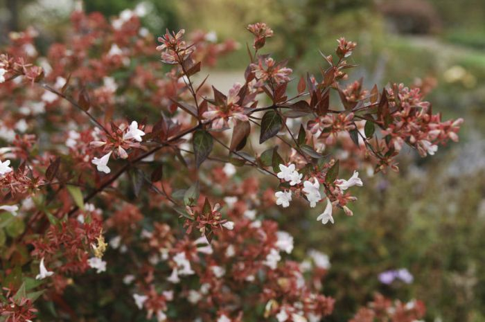 abelia x grandiflora glossy abelia rhs gardening. Black Bedroom Furniture Sets. Home Design Ideas