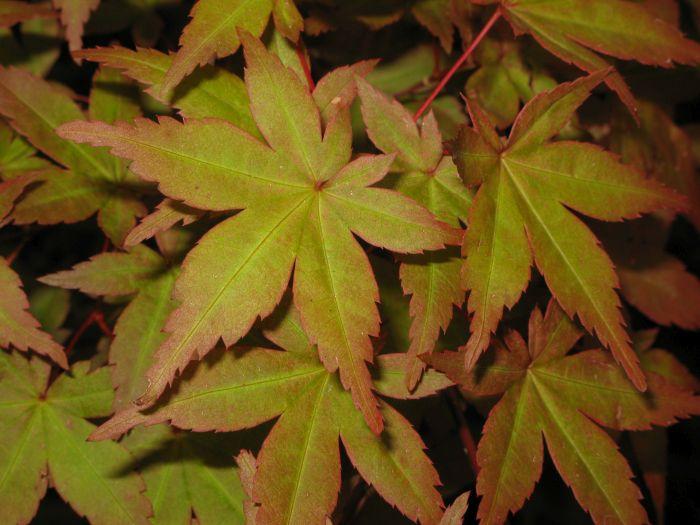 Japanese maple 'Beni-maiko'