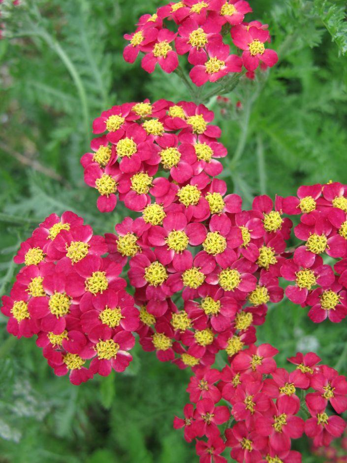 Achillea [Cultivars] 'Galaxy Series'   Plant Information ...