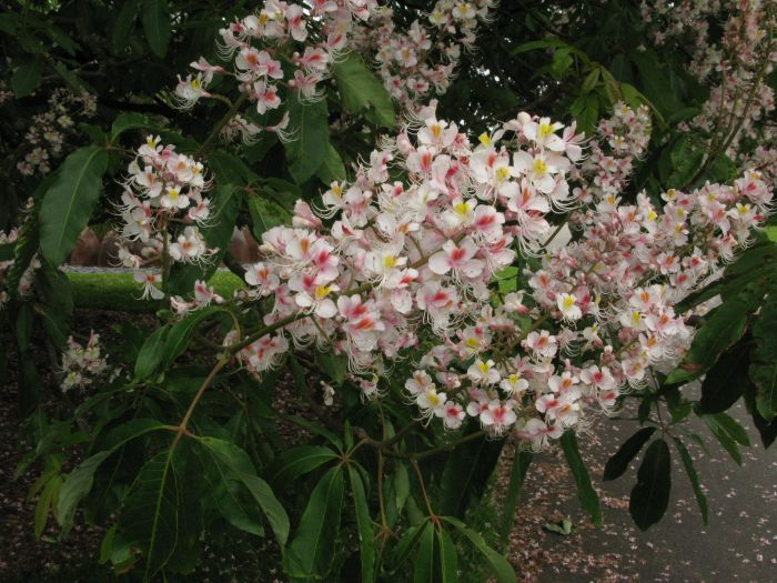 Indian horse chestnut 'Sydney Pearce'
