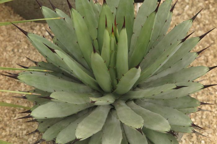 large-thorned agave