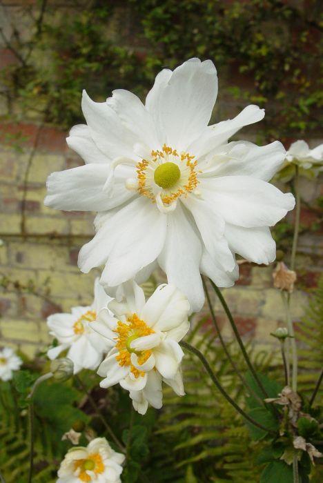 Japanese anemone 'Whirlwind'