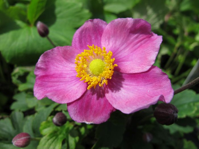 Rhs advice tips on garden indoor plants plant finder anemone hybrida pretty lady diana pretty lady series mightylinksfo