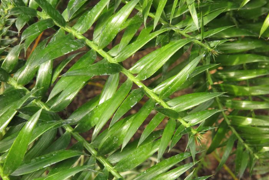 bunya-bunya pine