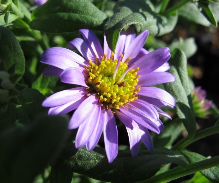 aster 'Flora's Delight'