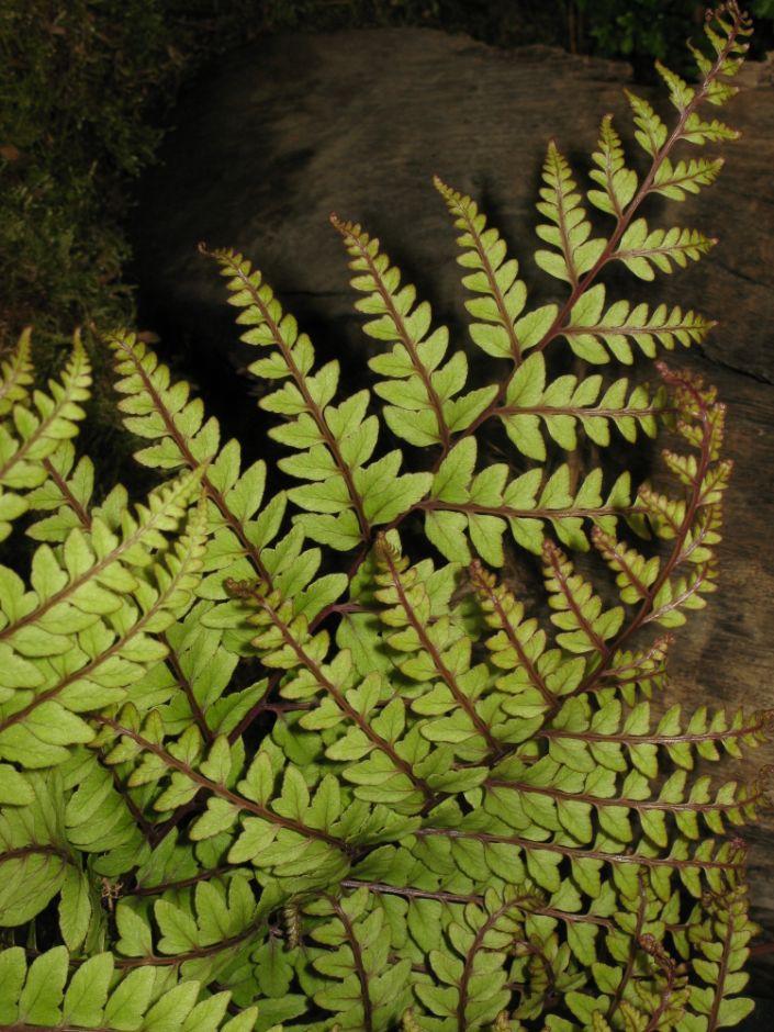 eared lady fern