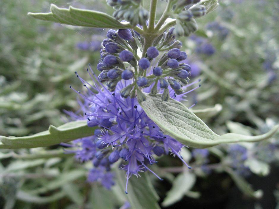 bluebeard [Sterling Silver]