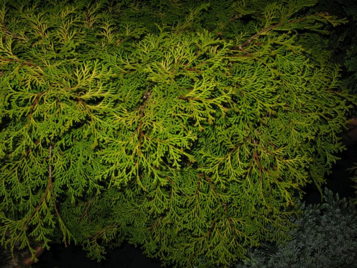 Hinoki cypress 'Kamarachiba'