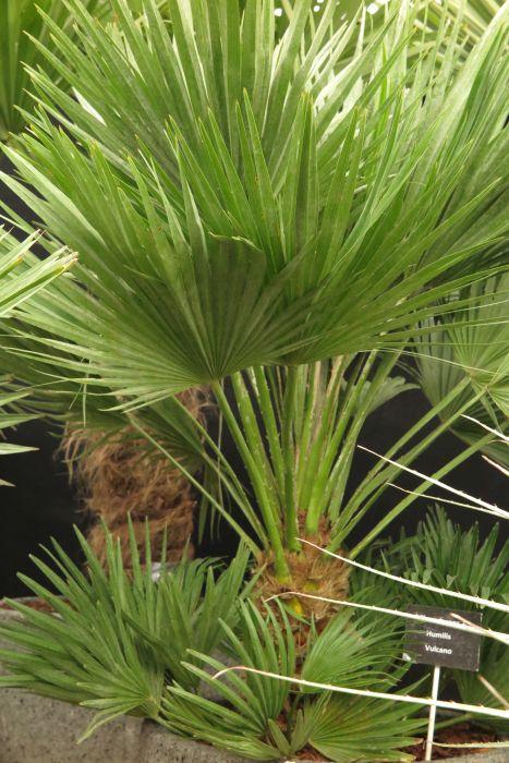 dwarf fan palm 'Vulcano'