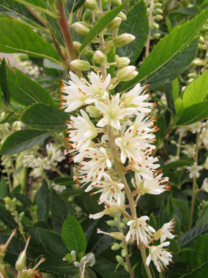 common white alder 'Hummingbird'