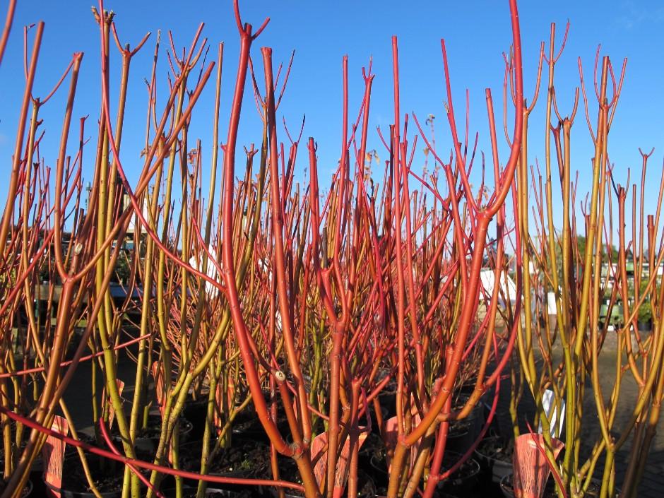 red osier dogwood 'Cardinal'