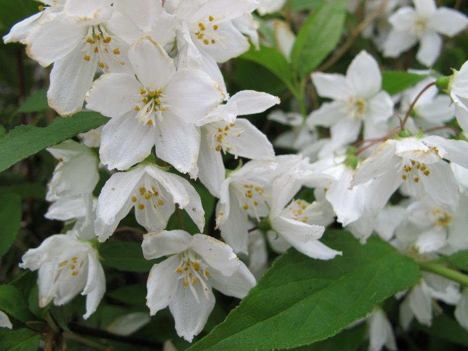 Japanese snow flower