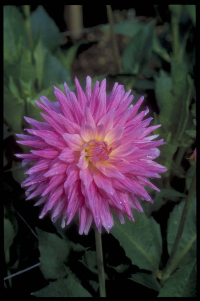 dahlia 'Pink Pastelle'