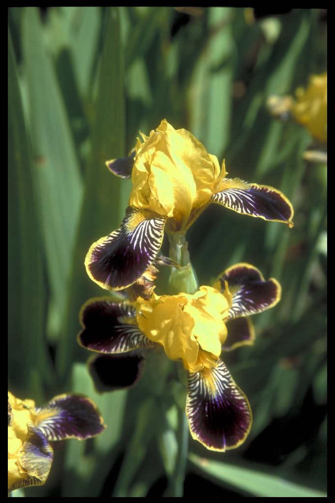 iris 'Bumblebee Deelite'