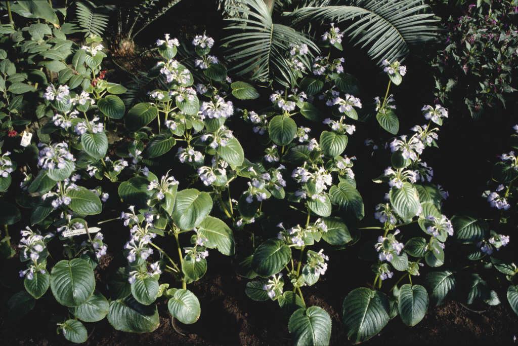 lavender chirita
