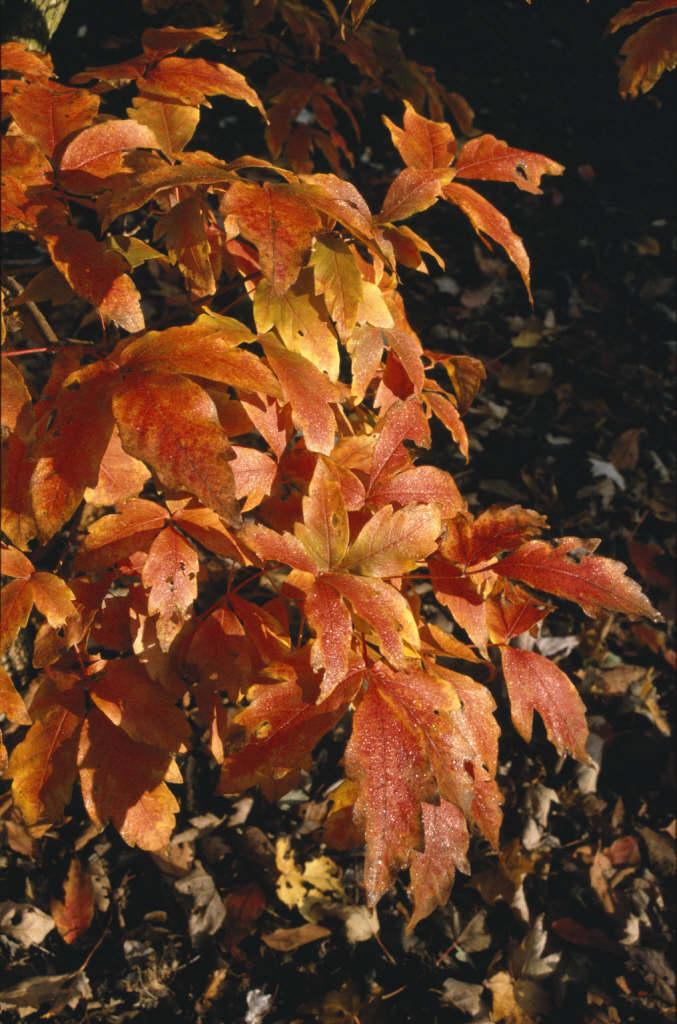 three-flowered maple
