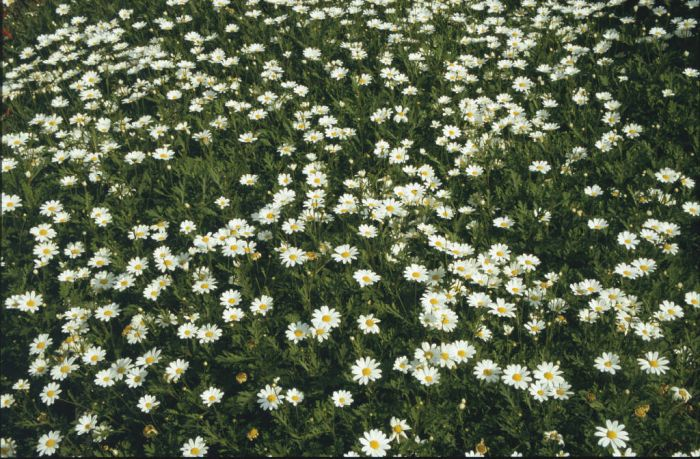 marguerite 'Donington Hero'