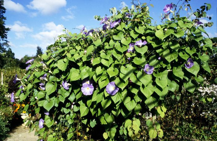 Ipomoea Tricolor Heavenly Blue Morning Glory Heavenly