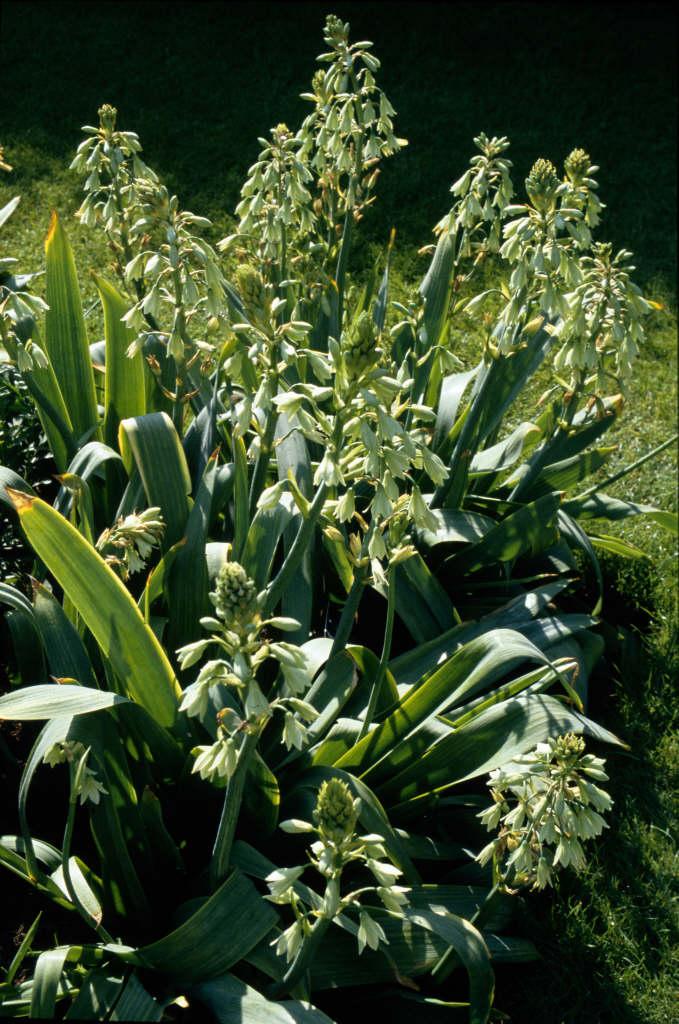 green-flowered galtonia