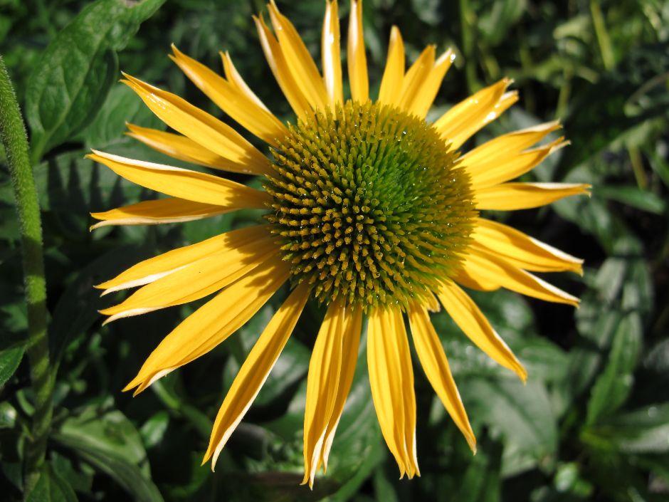 <i>Echinacea</i> 'Harvest Moon' <sup>(PBR)</sup> (Big Sky Series)