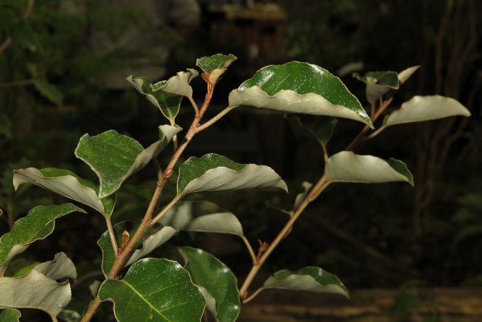 large-flowered oleaster