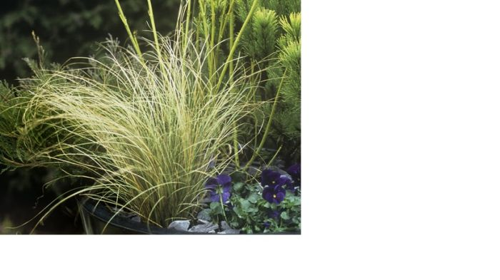sedge 'Frosted Curls'