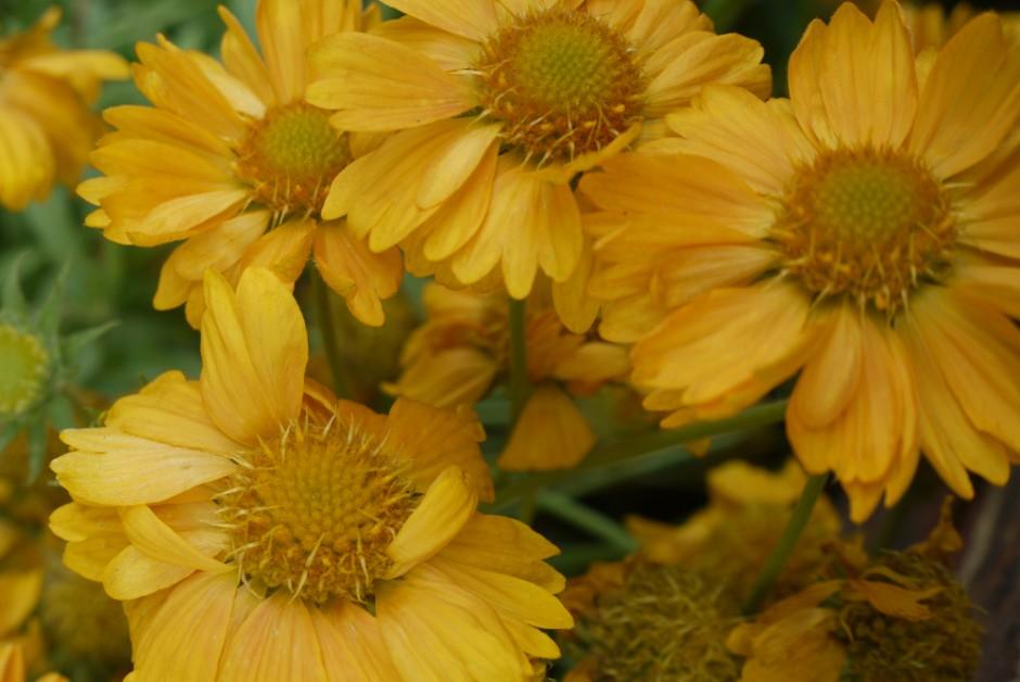 blanketflower 'Apricot Honey'