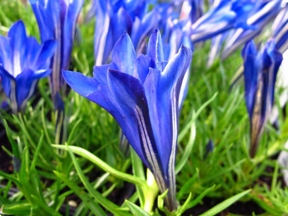 gentian 'Blue Silk'