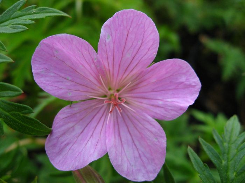 cranesbill 'Kashmir Pink'