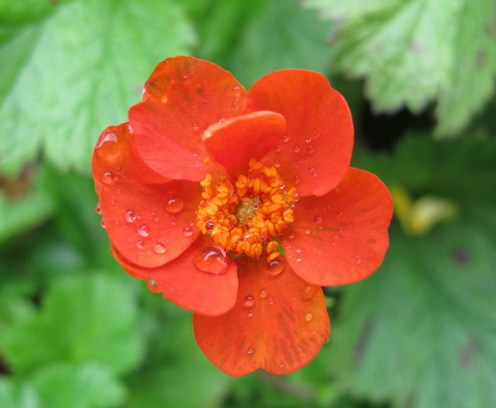 avens 'Cooky'