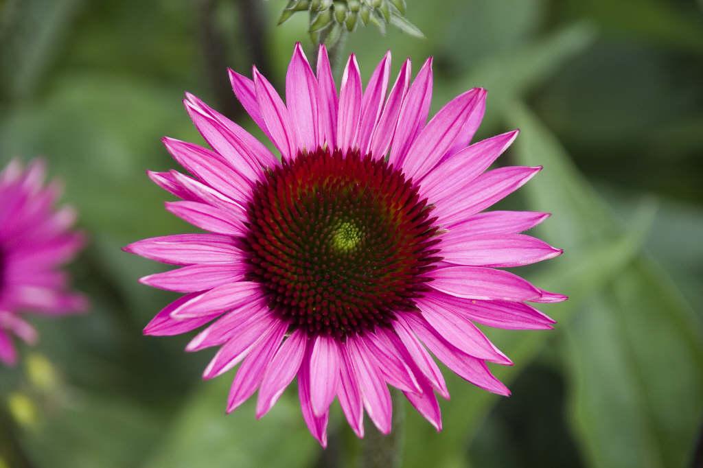 purple coneflower 'Rubinstern'