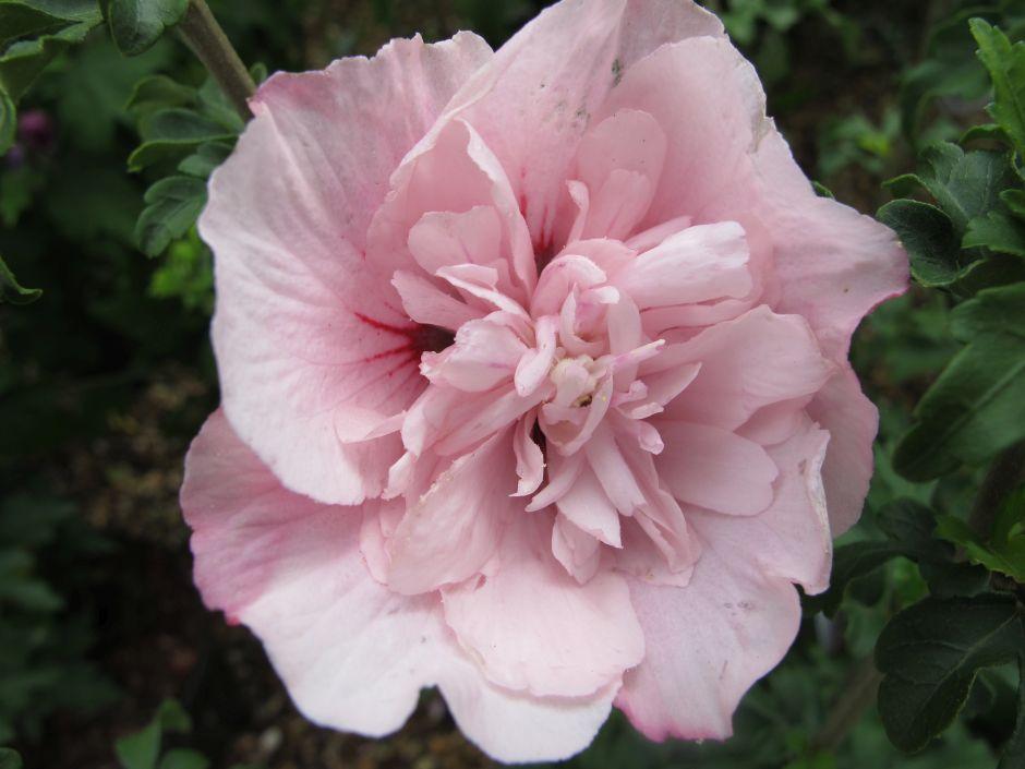rose of Sharon [Pink Chiffon]