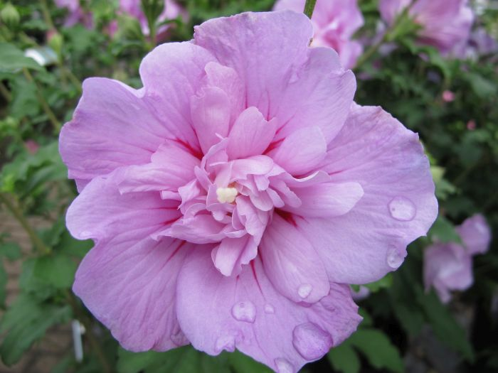 rose of Sharon [Lavender Chiffon]