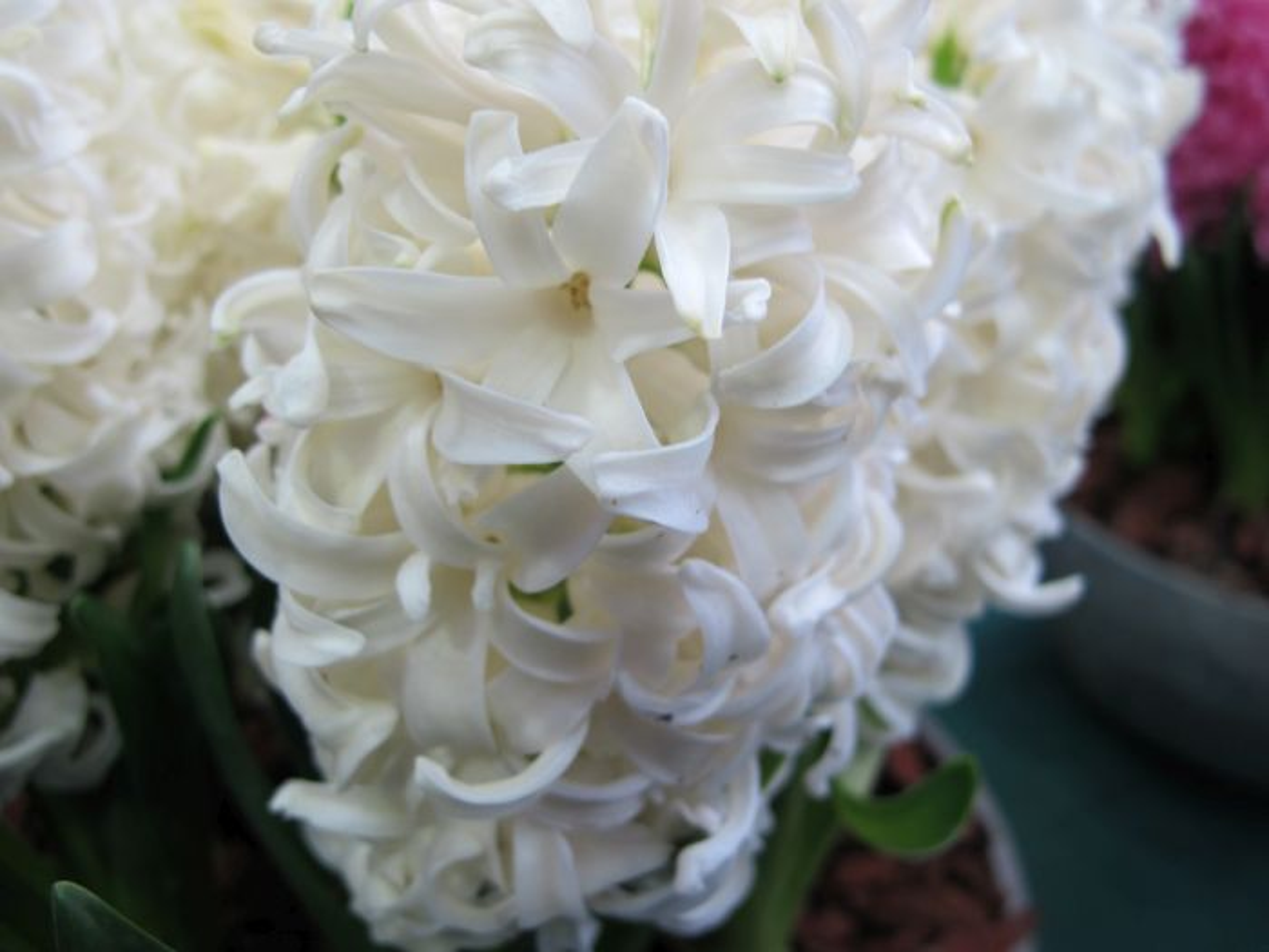 <i>Hyacinthus orientalis</i> 'White Pearl'