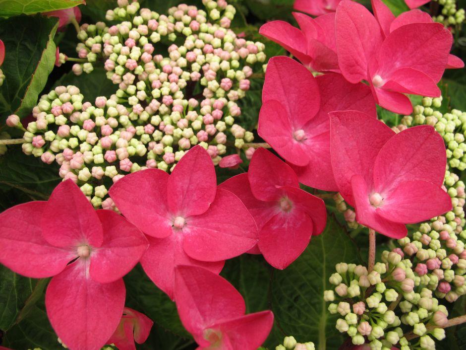 hydrangea 'Lady in Red'
