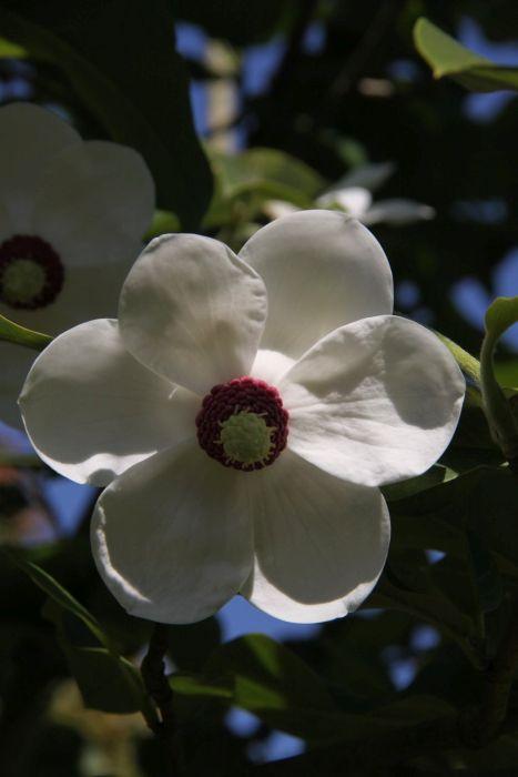 magnolia 'Colossus'