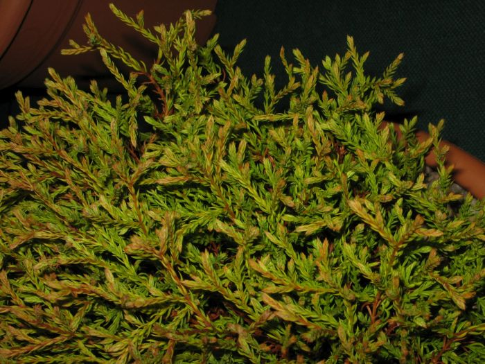white cedar 'Golden Tuffet'