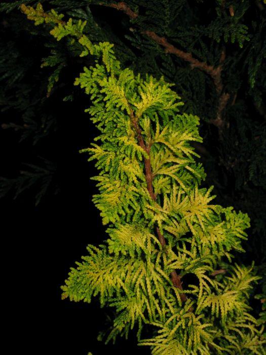Hinoki cypress 'Fernspray Gold'