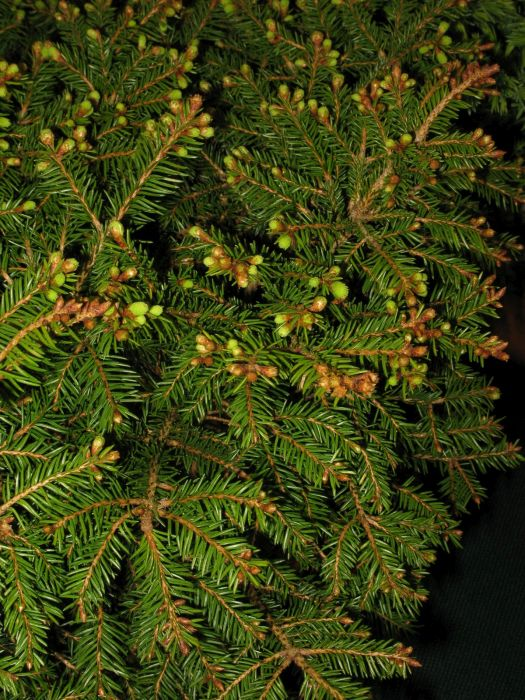 Norway spruce 'Clanbrassiliana'