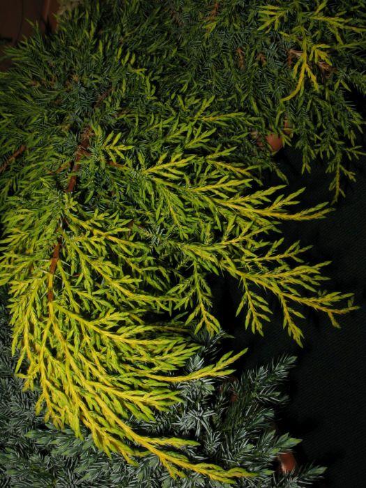 juniper 'Carbery Gold'