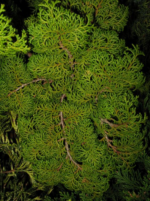Hinoki cypress 'Kosteri'