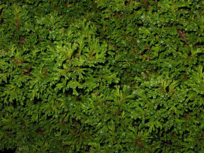 Sawara cypress 'Plumosa Compressa'