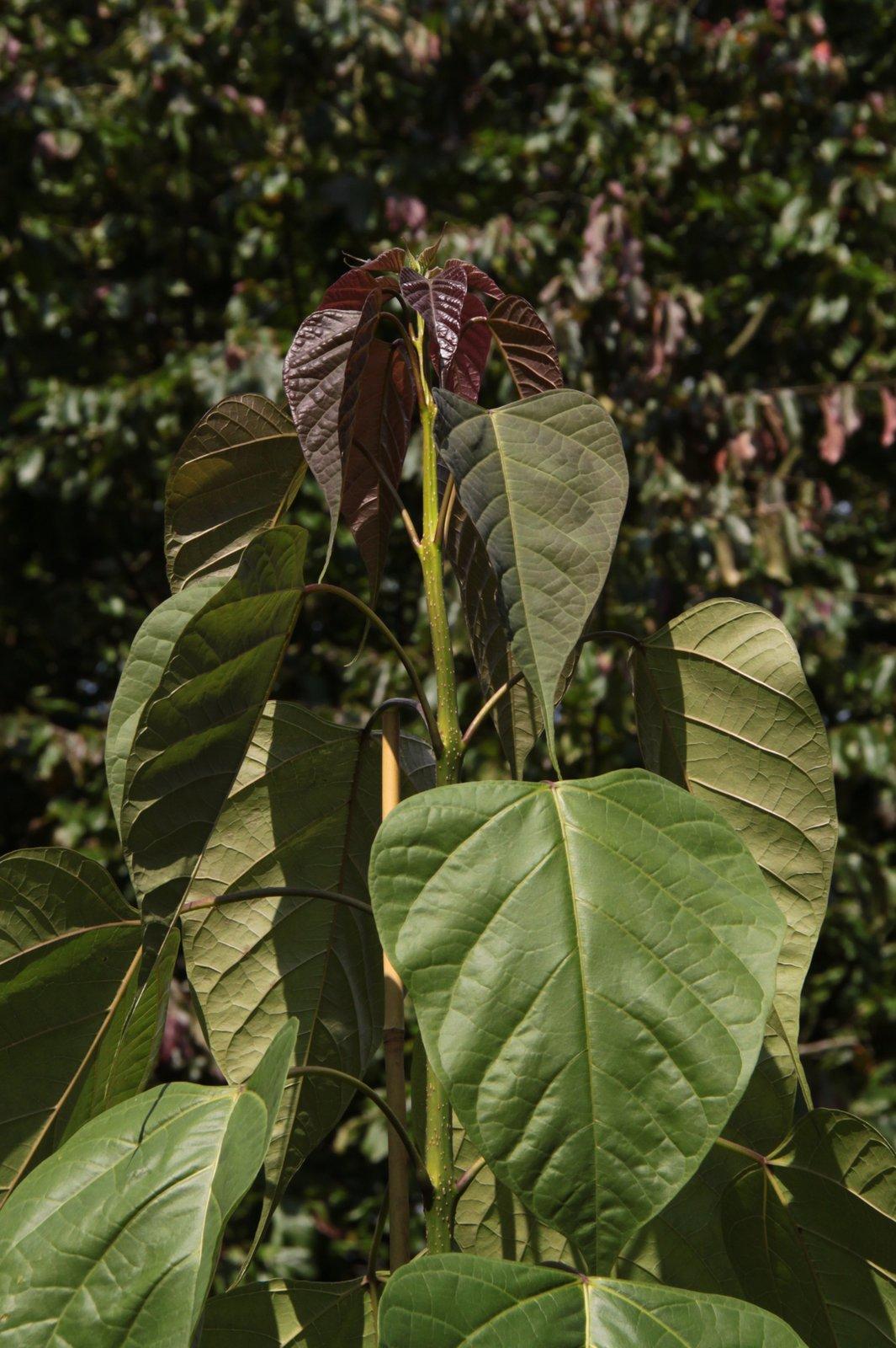 Chinese bean tree