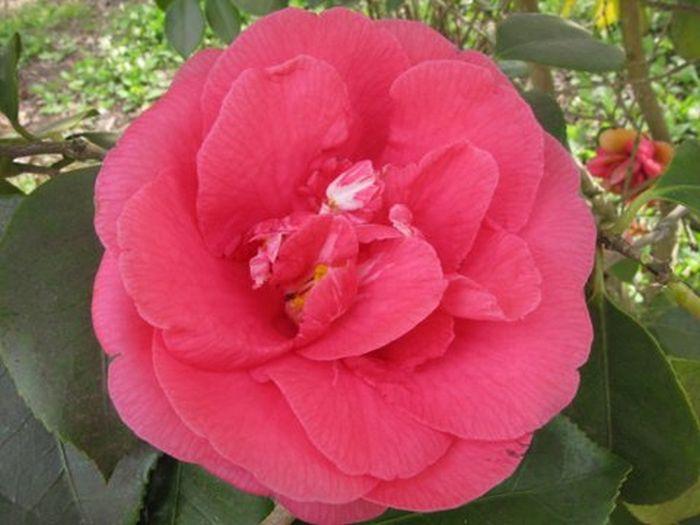camellia 'R.L. Wheeler'