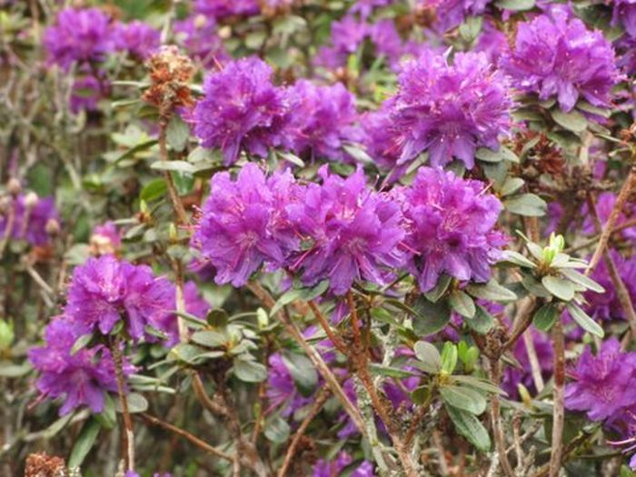 purplish-blue rhododendron