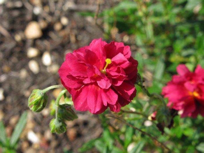 rock rose 'Cerise Queen'