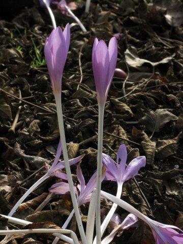 Byzantine meadow saffron